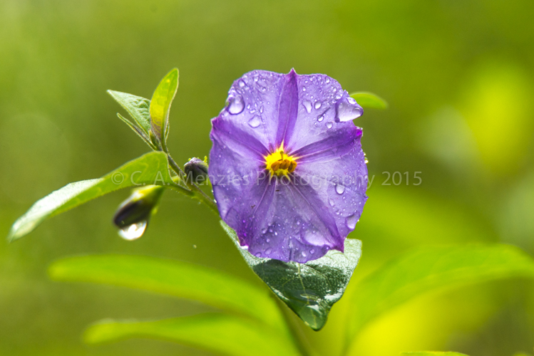 Paraguay-Nightshade-outside-the-Study-Window-after-the-Rain