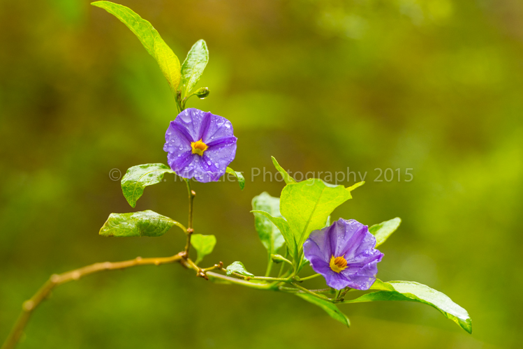 Paraguay-Nightshade-After-the-Rain