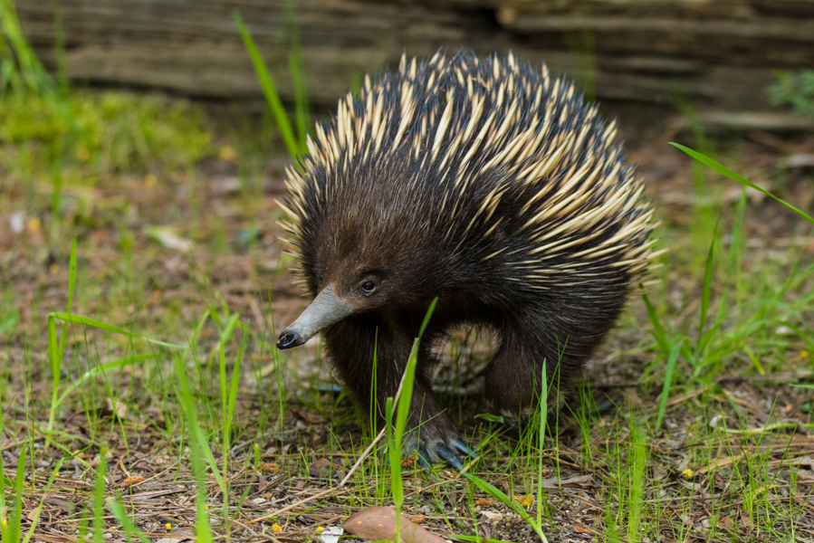 Echidna-on-the-Prowl-for-food